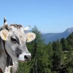 Kuh Südtirol Bozen