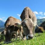 Kühe auf der Weide in den Dolomiten